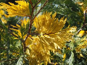 Yellow Cedar Tree Branch